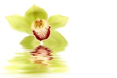 Green orchid. Floating on water with many copy space royalty free stock photos