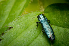 Green Orchid Bee stock images