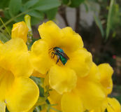 Green Orchid Bee. A green orchid bee over a beautiful yellow flower Royalty Free Stock Photo