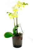 Green orchid in black vase Stock Photography
