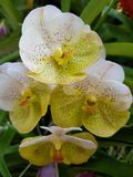Green orchid royalty free stock image