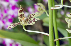 Green orchid with brown spot Stock Images