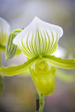 Green orchid Royalty Free Stock Photography