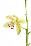 Green orchid detail Royalty Free Stock Photo