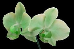 Green Orchid flower Royalty Free Stock Photo