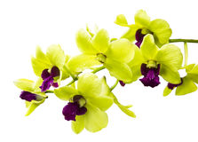 Green orchid isolated on white Stock Photography