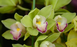 Green orchid on nature background Royalty Free Stock Images