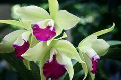 Green Orchid 1. Pink and green colored orchid in full bloom Royalty Free Stock Photography