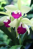 Green Orchid 2. Green and pink orchid in full bloom Royalty Free Stock Photography