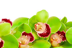 Green orchid Stock Photos