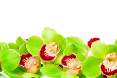 Green orchid Royalty Free Stock Photos