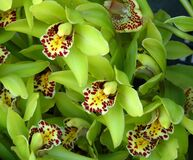 green orchids with speckled beards Stock Photography