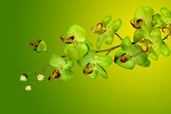 Green Orchids on Yellow Royalty Free Stock Image