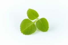 Green oregano Royalty Free Stock Photography