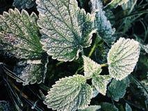 Green Oregano Leaves royalty free stock photography