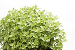 Green oregano plants. In front of white background Stock Photos