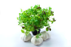 Green oregano on pot with garlic Royalty Free Stock Photography
