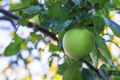 Green organic apple on the tree Royalty Free Stock Photos