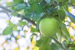 Green organic apple on the tree Royalty Free Stock Photography