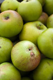 Green Organic Apples-England-UK Royalty Free Stock Photo