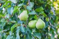 Green organic apples  on the tree Royalty Free Stock Photography