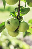 Green organic apples on tree. Three green organic aples riping in the summer sun, on aple tree Stock Photography