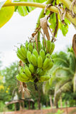 Green organic cultivated bananas bunch Stock Photos