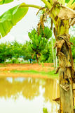 Green organic cultivated bananas bunch Stock Photography