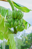 Green organic cultivated bananas bunch Royalty Free Stock Image