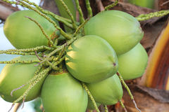 Green organic fresh Coconuts fruit Royalty Free Stock Photos