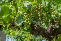 Grapes hanging from the vine with the old tree trunks in the summer stock images