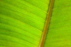 Green organic leaf texture Royalty Free Stock Photo