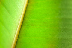 Green organic leaf texture Royalty Free Stock Image