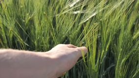Green organic natural green wheat for making bread a farmer checks plants for quality. 4k stock video footage