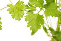 Green, organic parsley Stock Photos