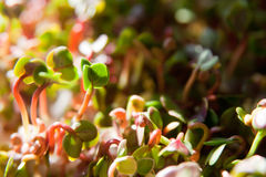 Green organic sprouts growth Royalty Free Stock Images
