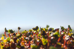 Green organic sprouts growth Royalty Free Stock Photos