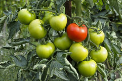 green organic tomatoes stock images