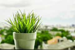 Green organic wheat grass against Royalty Free Stock Photography