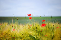 Green organic whet and poppy flowers Royalty Free Stock Photography