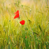 Green organic whet and poppy flowers Stock Photos