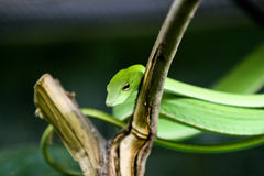 Green Oriental Whip Snake Royalty Free Stock Image