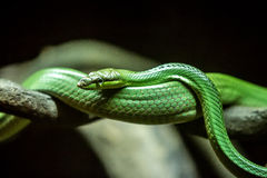 green ormen Fotografering för Bildbyråer