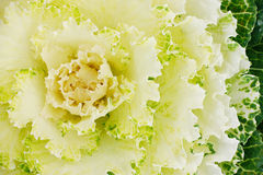 Green ornamental cabbages Stock Photography