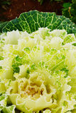 Green ornamental cabbages Royalty Free Stock Photos
