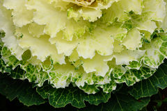 Green ornamental cabbages Royalty Free Stock Photography