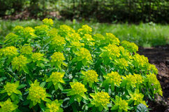 Green ornamental foliage garden shrub Royalty Free Stock Photography