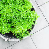 Green ornamental plant on gray tile floor Royalty Free Stock Photography