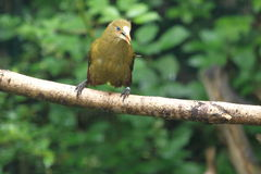 Green oropendola Stock Photos