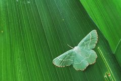 Green over green. Pale green moth (Geometridae) on a green leaf stock photos